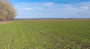 Spring landscape with winter crops Stock Image