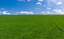 Spring landscape with winter crops Royalty Free Stock Images