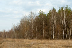 Spring landscape. Wood, birch, dry grass. Royalty Free Stock Photography