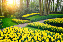 Spring landscape with yellow daffodils. Keukenhof garden Royalty Free Stock Image