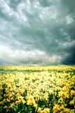 Spring landscape with yellow flowers narcissus Stock Photo