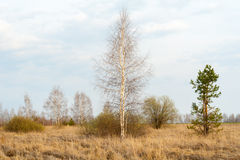 Spring landscape. Young birch and pine. Stock Image