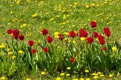 Spring landskap med blommor Tulpan Härlig bukett av tulpan Royaltyfri Foto