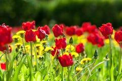 Spring landskap med blommor Tulpan Härlig bukett av tulpan Royaltyfri Fotografi
