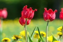 Spring landskap med blommor Tulpan Härlig bukett av tulpan Royaltyfri Bild