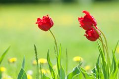 Spring landskap med blommor Tulpan Härlig bukett av tulpan Fotografering för Bildbyråer