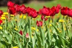 Spring landskap med blommor Tulpan Härlig bukett av tulpan Arkivbild
