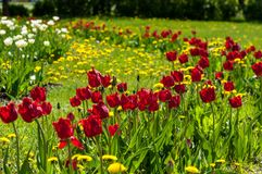 Spring landskap med blommor Tulpan Härlig bukett av tulpan Royaltyfria Bilder