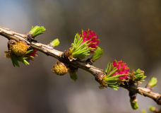 Spring larch Royalty Free Stock Photography