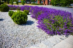 Spring lavander.Lavander farm.Landscape design royalty free stock images