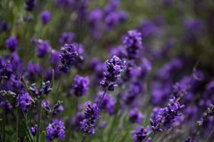 Spring lavander.Lavander farm.Landscape design stock photos