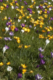 Spring lawn. A lawn full of crocus in spring Stock Photography