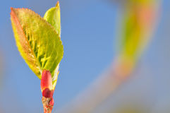 Spring leaf. Spring leaf against the blue sky Stock Image