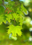 Spring leaf. Stock Photography