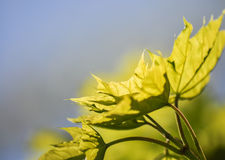 Spring leaf Royalty Free Stock Photography