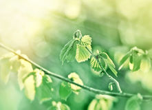 Spring leaf illuminated with sun rays - new life Royalty Free Stock Photos