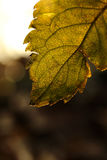 SPRING LEAF. Morning in april, a bright leaf Stock Photography
