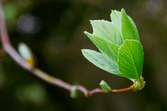 Spring leaf on tree brunch royalty free stock photography