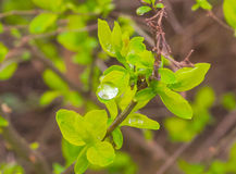 Spring leaf with water drops. The spring flower on the land with leafs and drops Stock Image