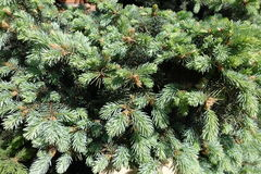 Spring leafage of Colorado blue spruce Royalty Free Stock Photography