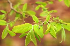 Spring Leaves. Leaves coming forth after a long and cold winter Stock Photography