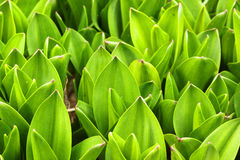 Spring leaves Royalty Free Stock Photo