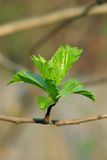 Spring leaves 2. Young leaves of a tree Royalty Free Stock Image