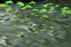 Spring leaves. Fresh spring leaves and running creek, Del. Watergap, Pa. recreational area Royalty Free Stock Image