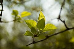 Spring leaves. Fresh spring leaves on branch Royalty Free Stock Photo