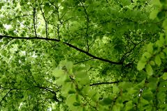 Spring leaves. Seen from under a tree Royalty Free Stock Image