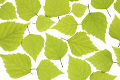 Spring leaves. On white background Royalty Free Stock Photos