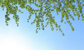 Spring leaves against a blue sky Stock Images