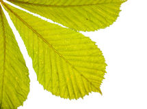 Spring leaves arrangment. Arrangment of three fresh green spring horse chestnut leaves in closeup backlit with white background Stock Photo