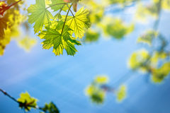 Spring leaves Royalty Free Stock Photos