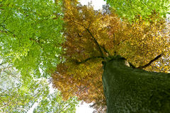 Spring leaves beech tree royalty free stock photos