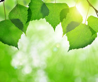 Spring leaves of birch Royalty Free Stock Images