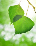 Spring leaves of birch Royalty Free Stock Photography