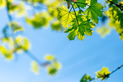 Spring leaves and blue sky as background Stock Photos