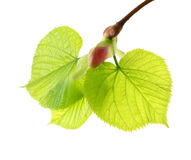 Spring leaves Stock Photography
