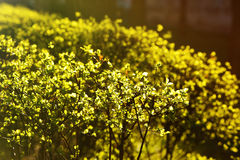 Spring leaves bush morning light shining spring Stock Photography