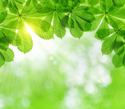 Spring leaves of chestnut tree Royalty Free Stock Image
