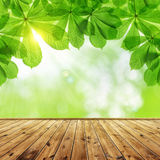 Spring leaves of chestnut tree Royalty Free Stock Photo