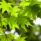 Spring leaves close-up Royalty Free Stock Images