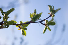 Spring Leaves. Closeup of leaves starting to grow Royalty Free Stock Images
