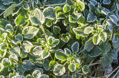 Spring leaves covered with frost Stock Photo