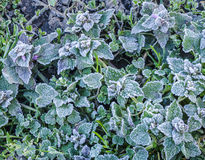 Spring leaves covered with frost - Stock Image