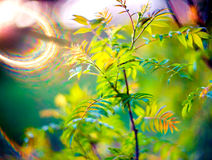 Spring leaves and lens flare. Young green spring leaves, fresh nature background with unique lens flare Stock Photos