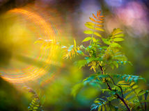 Spring leaves and lens flare. Young green spring leaves, fresh nature background with unique lens flare Royalty Free Stock Photo