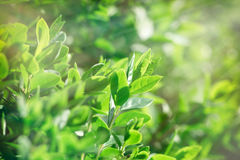 Spring leaves lit by sun rays Royalty Free Stock Image