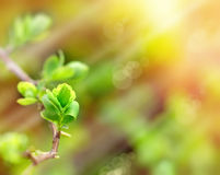 Spring leaves lit with sunlight Stock Photos